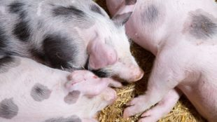 piglets-on-a-farm-1445951689bqf